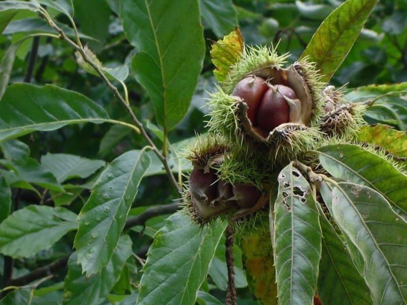 Chestnut Festival – Elos 21st October
