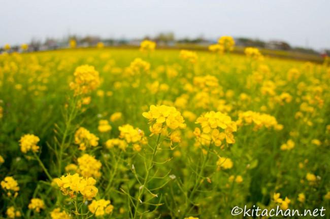 ひまわりの丘公園の菜の花