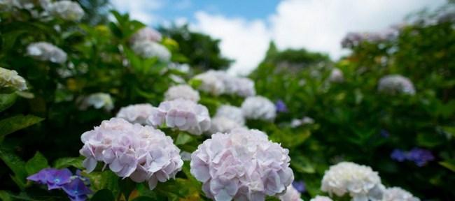 [Photolog] 2015年6月 神戸市立森林植物園の紫陽花