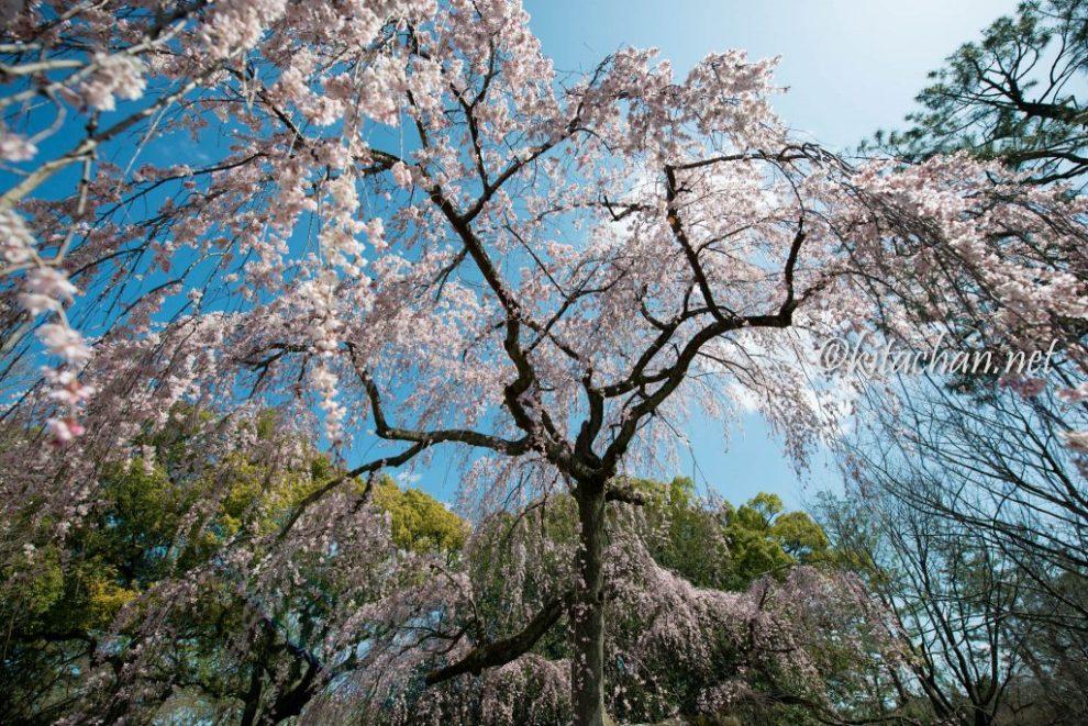 出水のしだれ桜