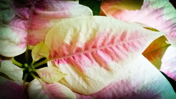 Weihnachsstern Poinsettia