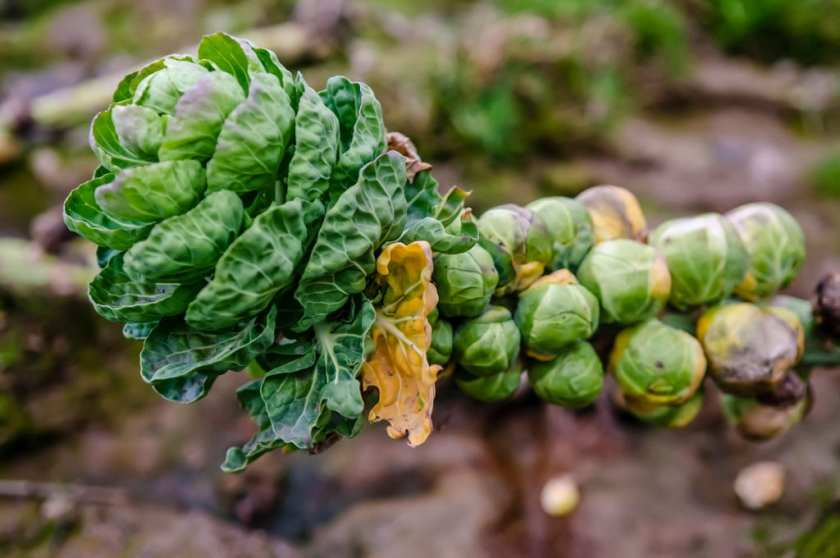 Brussels Sprouts on it's plant.