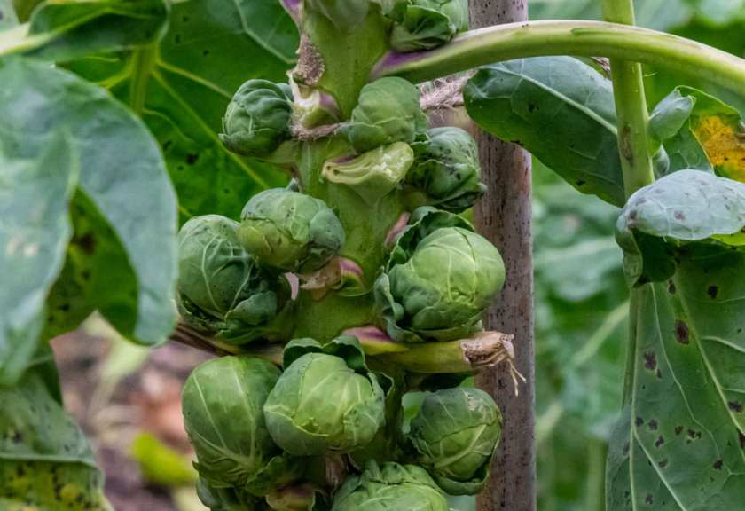 Brussels Sprouts before harvest.