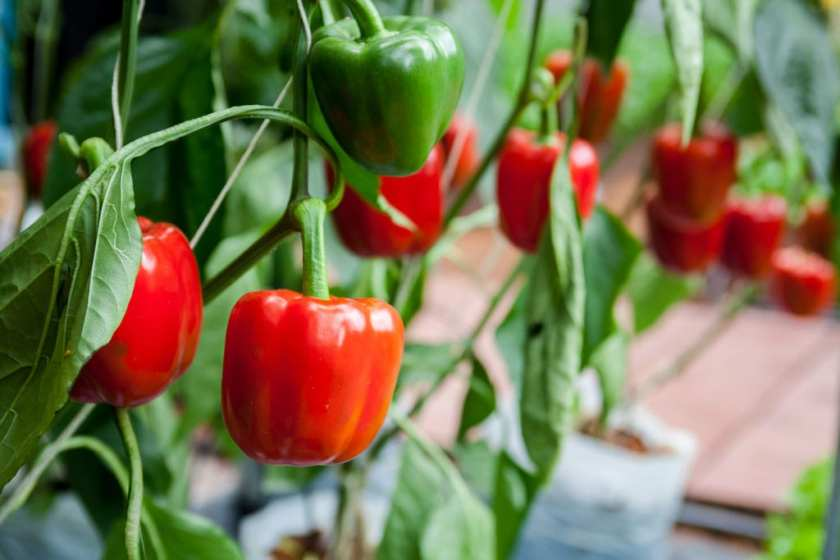 Red Bell Peppers hanging from it's plant.