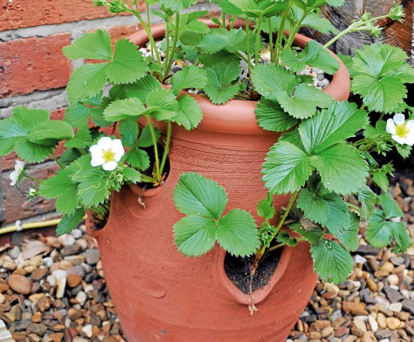 A fruit plant in a ground pot.