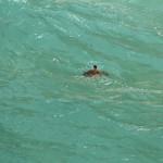 Schildkröte im Wasser am Point Lookout Stradbroke Island Australien
