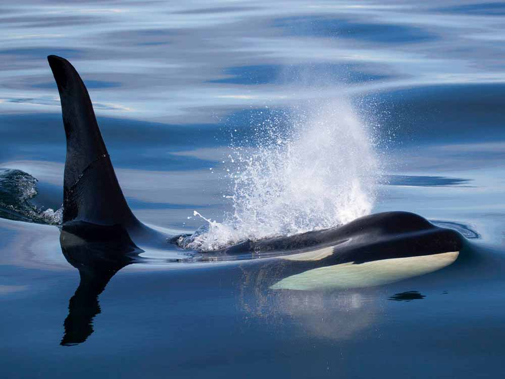 Young orca surfaces
