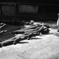 The Beginnings Of The Alligator Woman