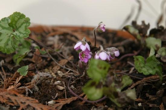 Hepatica nobilis x orenatiloba x marmorata. Photo credit: M. Brehaut