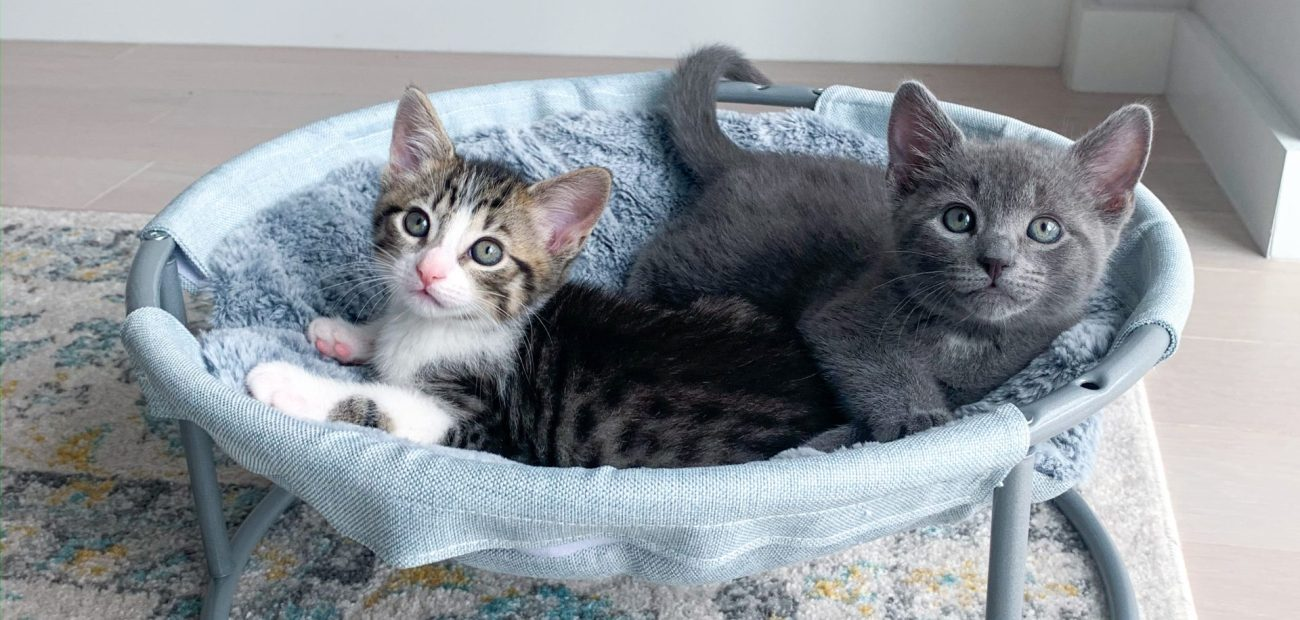 tabby kitten and gray kitten in hammock cat bed