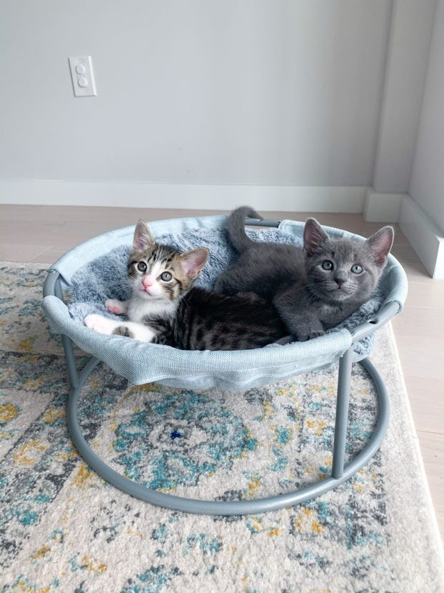 tabby kitten and gray kitten in hammock cat bed