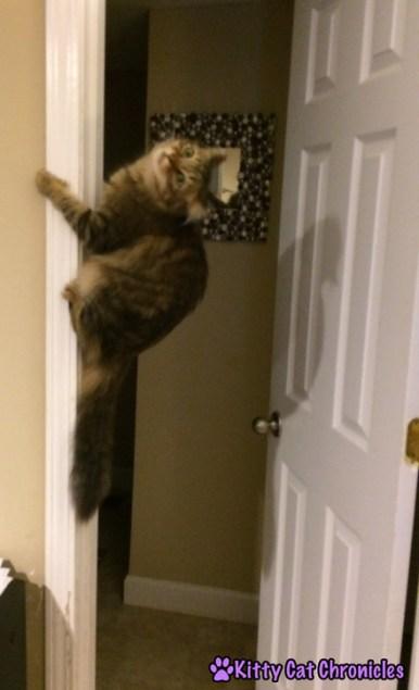 Caster, cat climbing wall