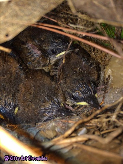 The Carolina Wrens have Finally Fledged - baby birds in nest