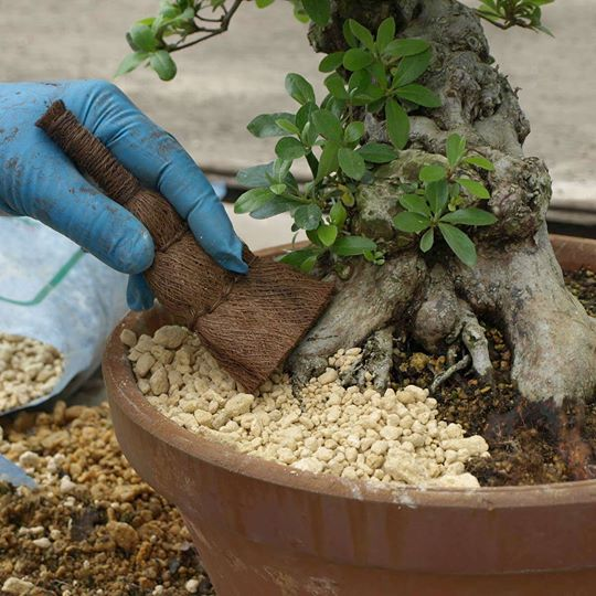 scopino giapponese per bonsai