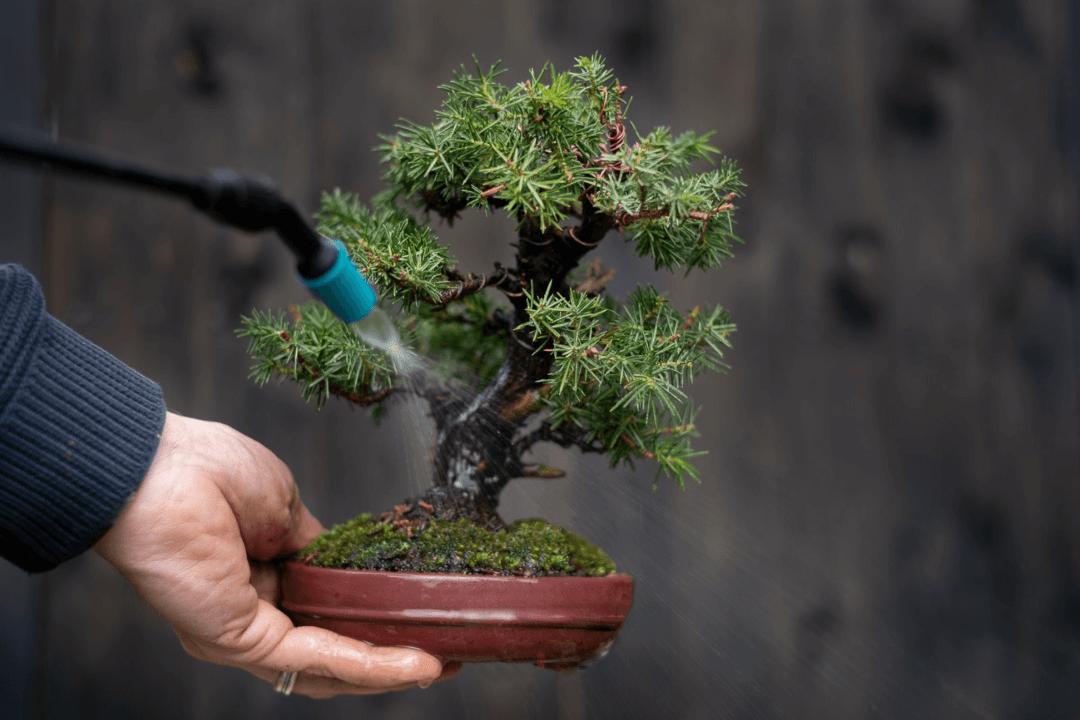 annaffiatura bonsai