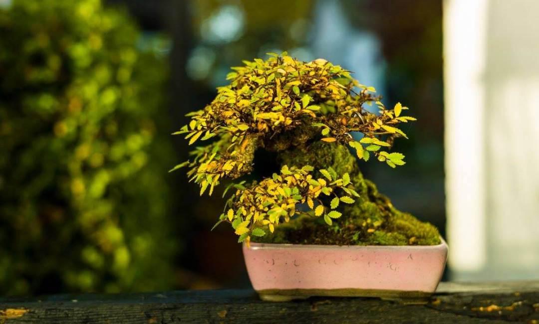 olmo shohin bonsai