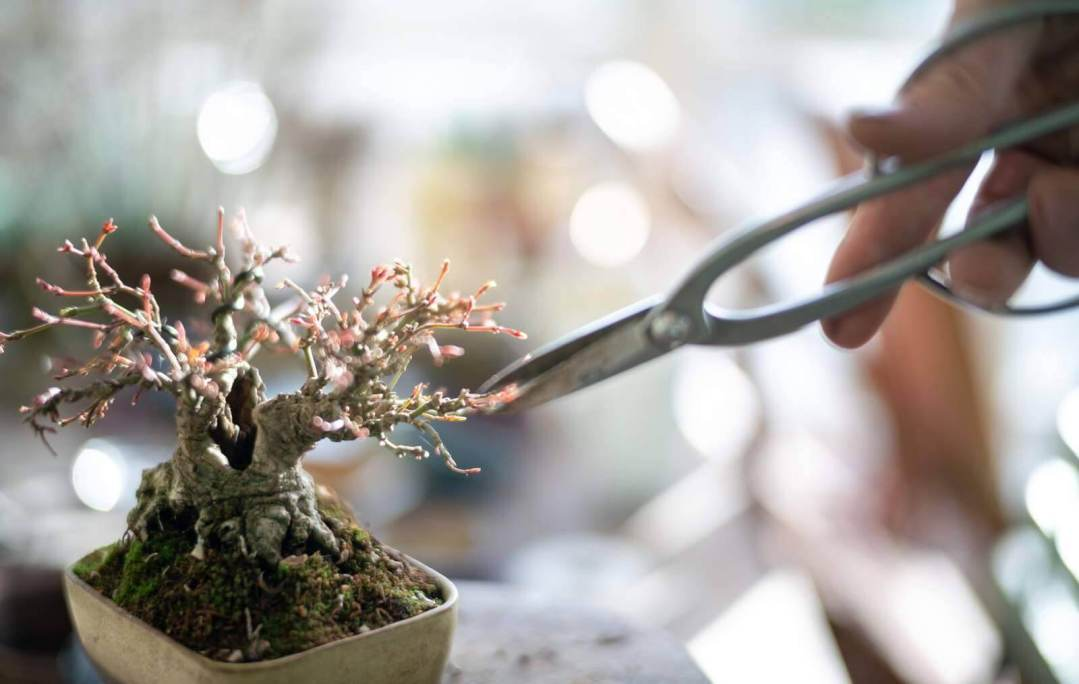 potatura germogli bonsai