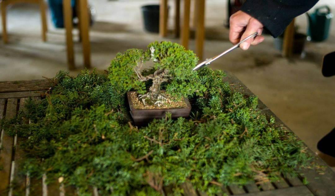 Potatura ginepro bonsai