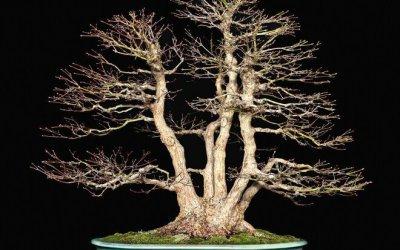 Dicembre: Lavori e cure nei bonsai