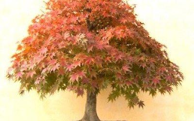 Gennaio: Lavori e cure nei bonsai