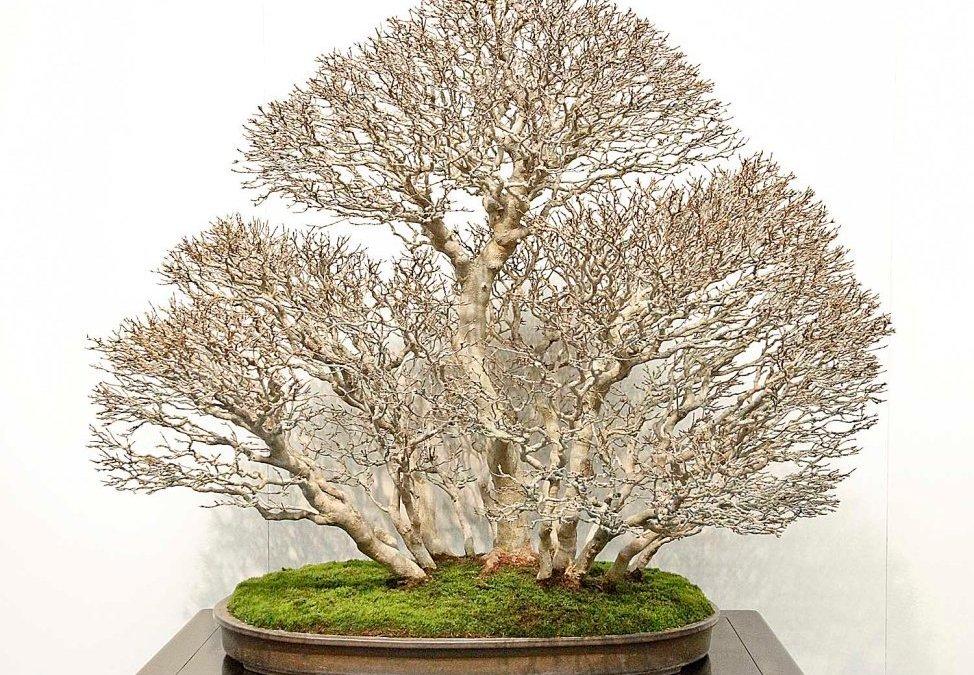 Febbraio: Lavori e cure nei bonsai