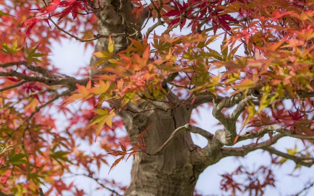 bonsai acero rosso