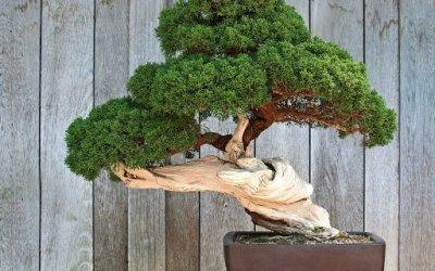 Maggio: Lavori e cure nei bonsai