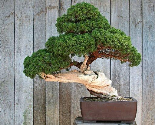 Ginepro itoigawa bonsai