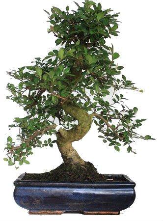 bonsai di olmo