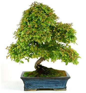 sagrestia o ciliegio cinese bonsai a palermo