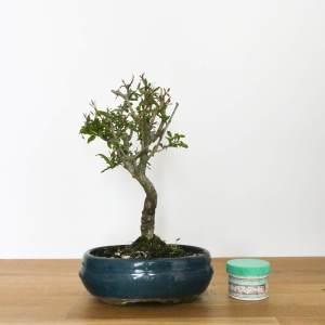 bonsai di melograno con fiori e frutti