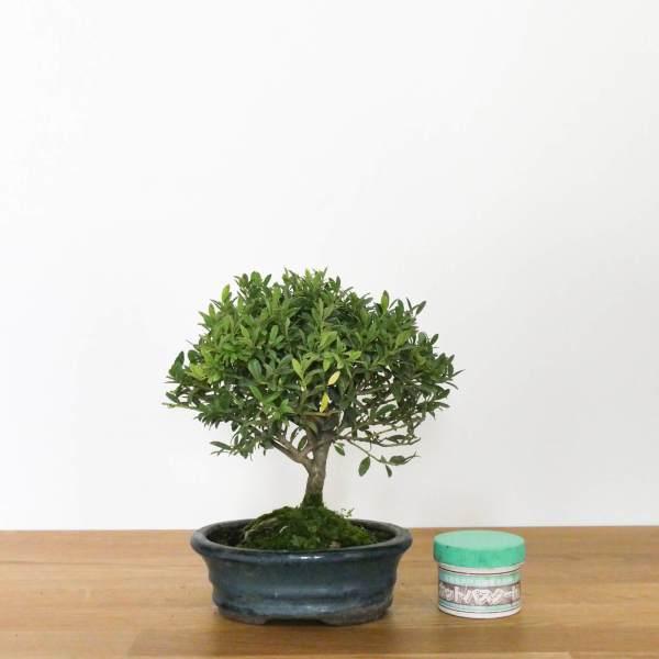 bonsai di ilex con foglie piccole