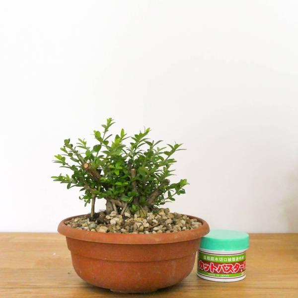 bonsai lonicera