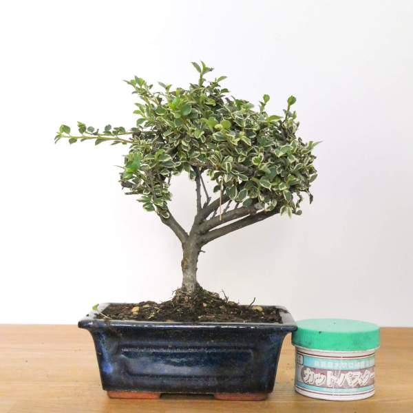 bonsai di cotoneaster variegato