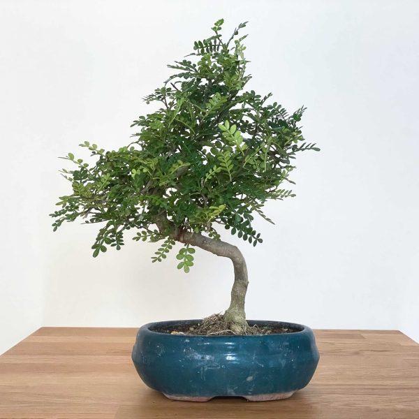 bonsai pepe