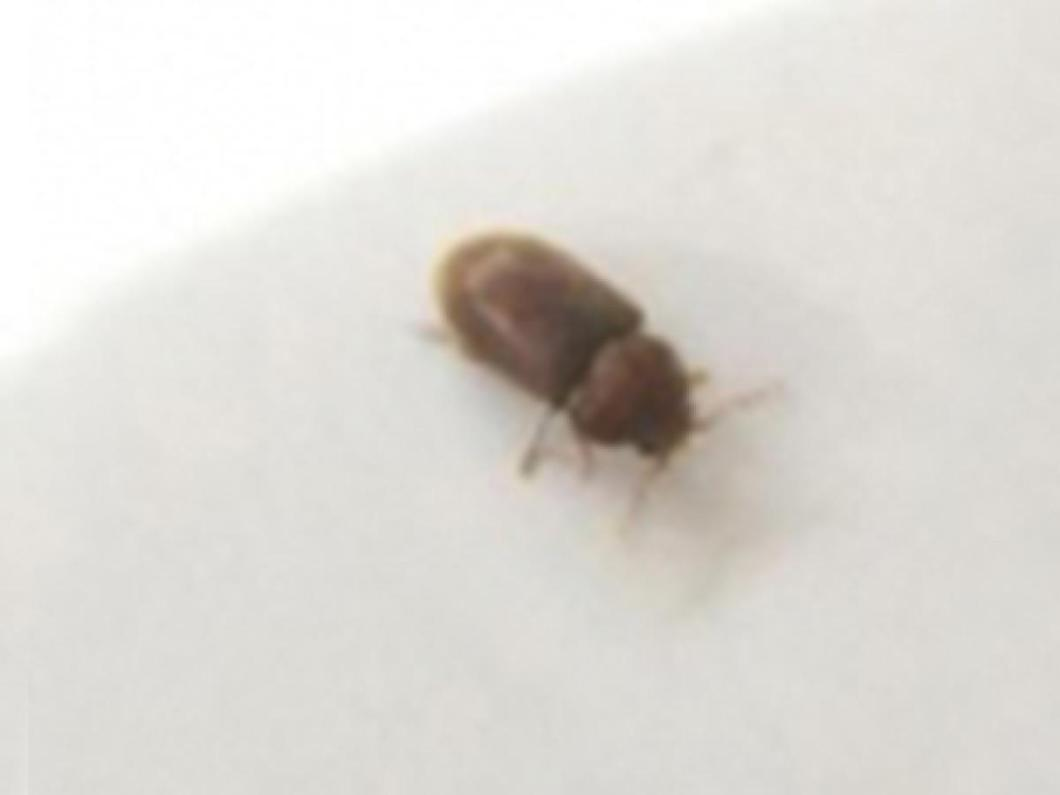 What Is That Small Brown Beetle