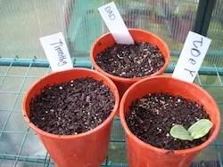 pumpkin competition seedling