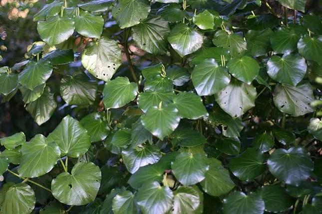 Kawakawa leaves