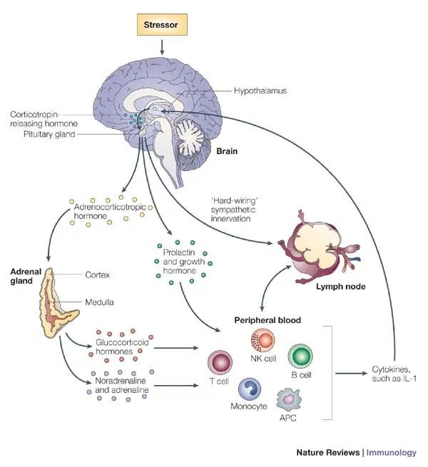 Source: Stress-induced immune dysfunction: implications for health (Glaser & Kiecolt-Glaser)