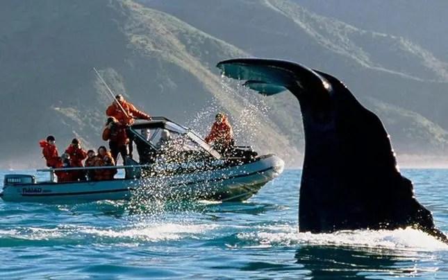 Whale watching-Kaikoura