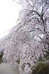 山高神代桜130329_02