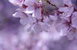 高遠城趾公園下の桜
