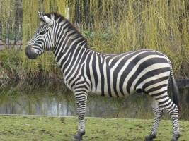 2015-03-25 DO (158) Grant-Zebra