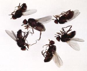 Hvordan bli kvitt fluer - 4 gode kjerringråd