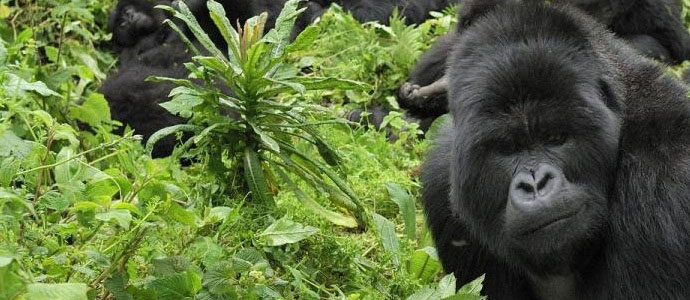 uganda national parks mgahinga gorilla national park