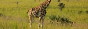 4 Days Kidepo tours national park