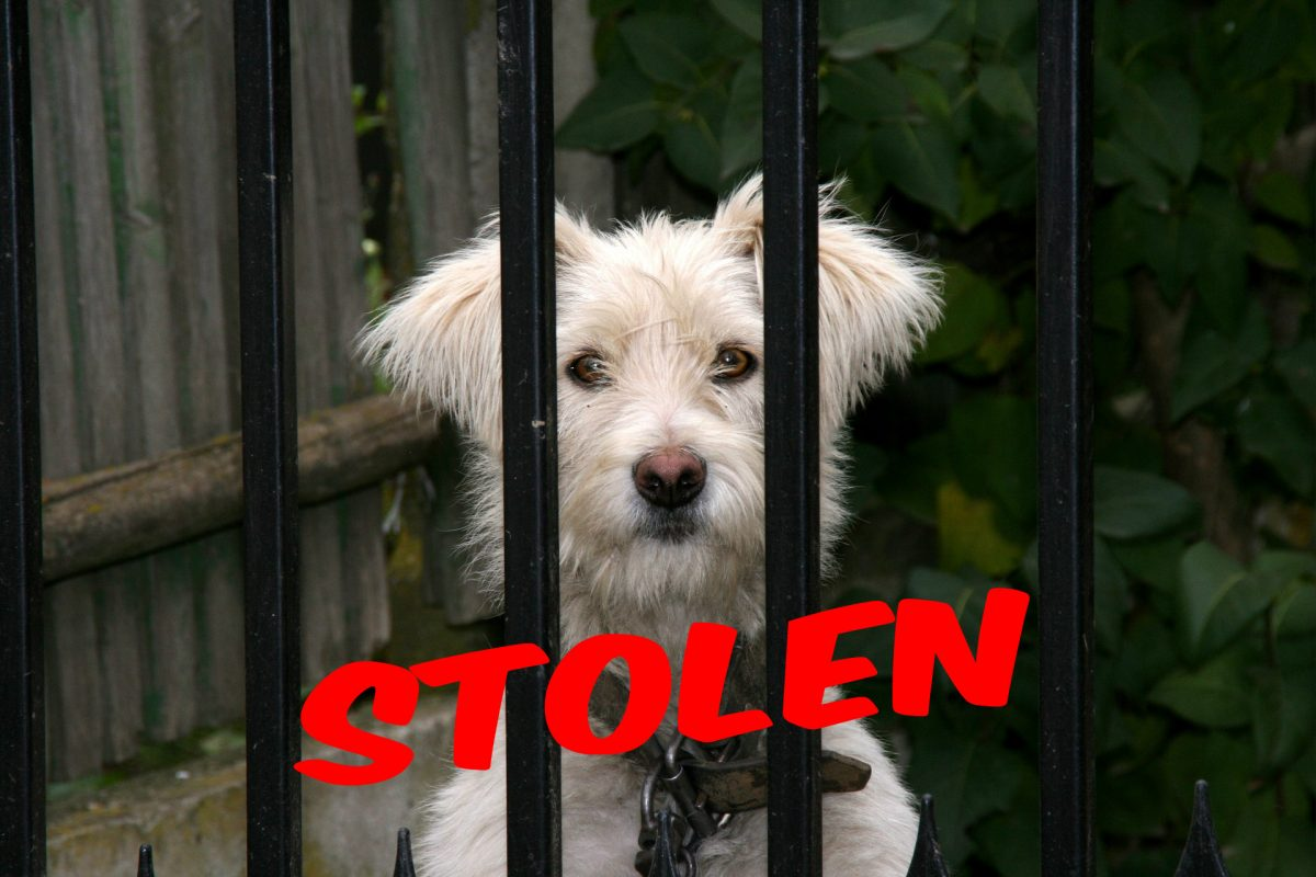Missing my dog ... these are the 12 most frequently stolen pet dog breeds