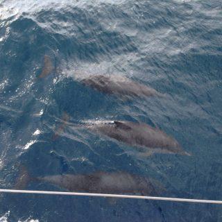 Tre delfini sotto la barca