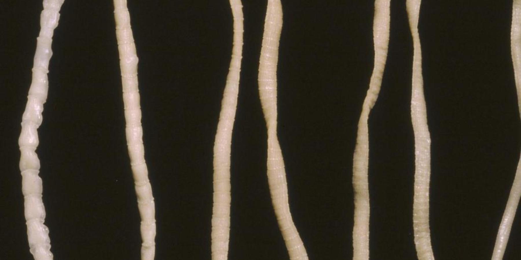 Fuchsbandwurm: Infektionsgefahr sehr gering