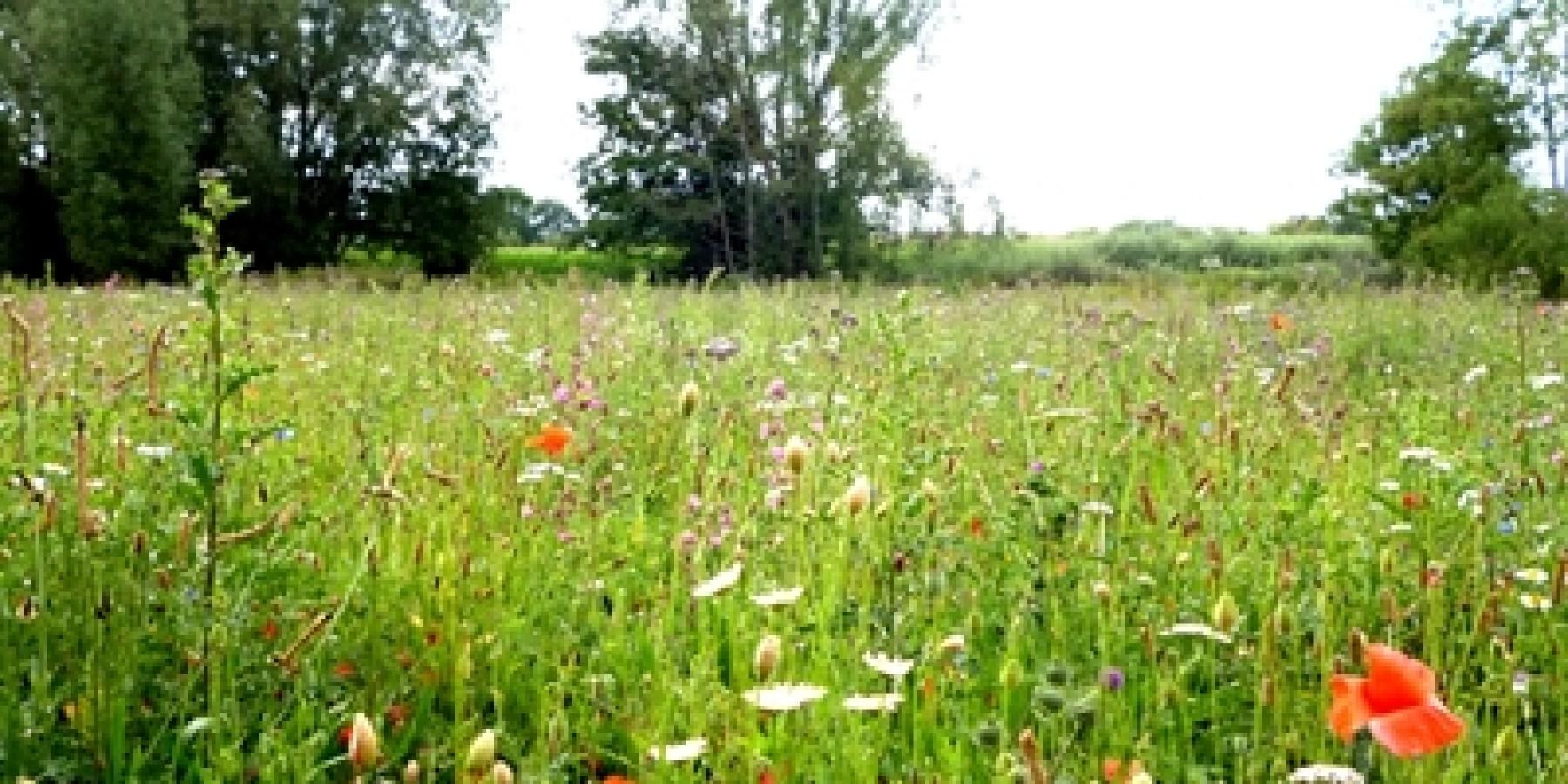 Wiesen mit Wildblumen mehr als ein Hingucker